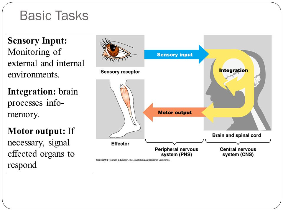Basic Tasks Sensory Input: Monitoring of external and internal environments. Integration: brain processes info- memory.