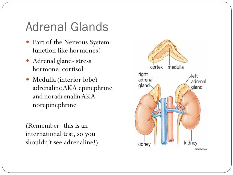 Adrenal Glands Part of the Nervous System- function like hormones!