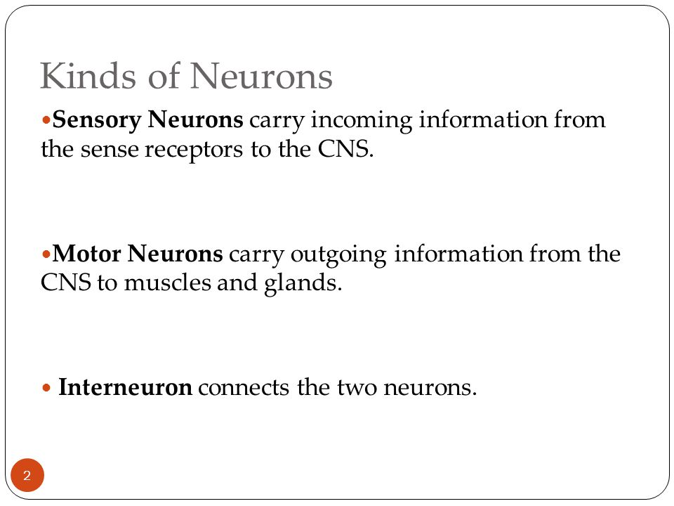 Kinds of Neurons Sensory Neurons carry incoming information from the sense receptors to the CNS.
