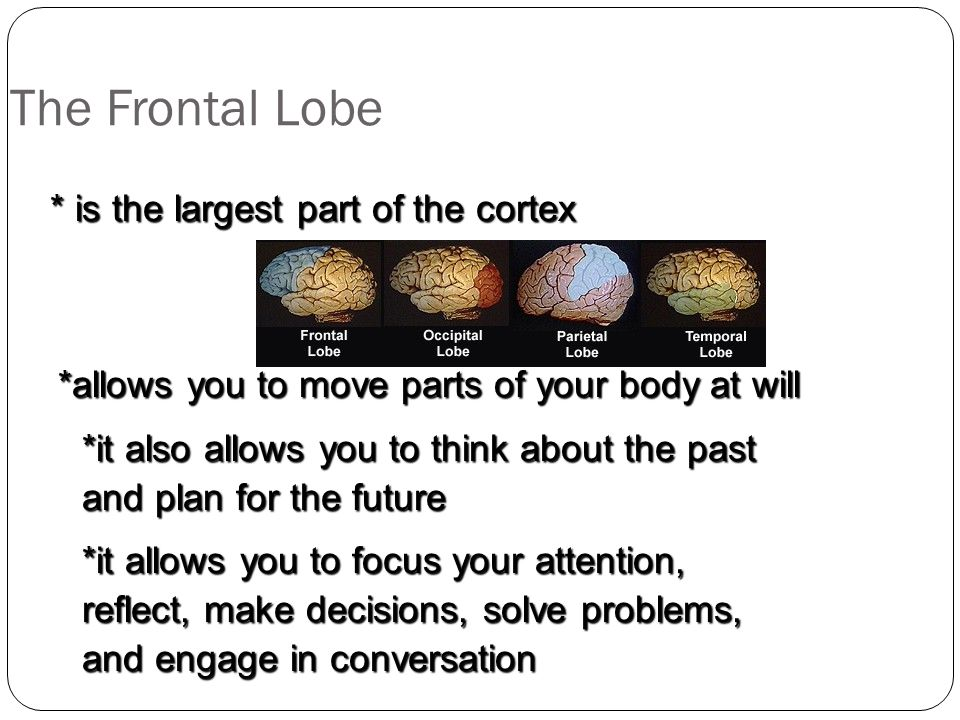 The Frontal Lobe * is the largest part of the cortex
