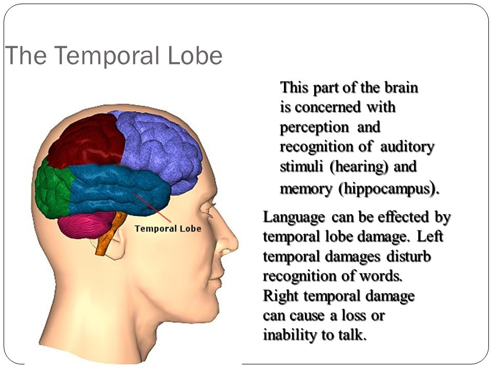 The Temporal Lobe This part of the brain is concerned with