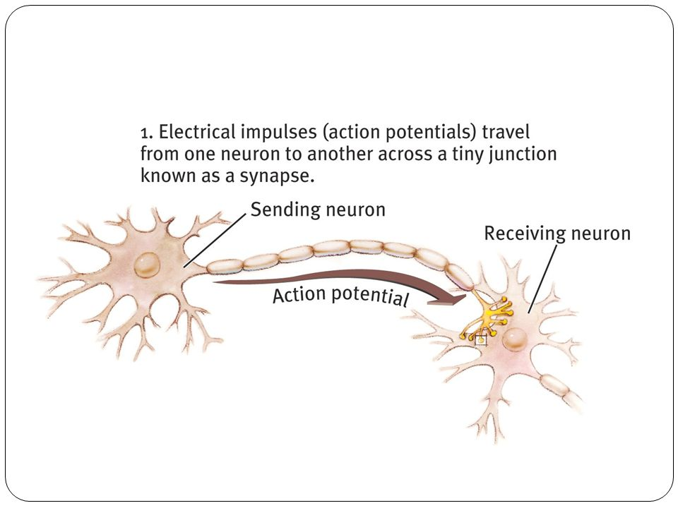 Remember, the dendrite fibers receive information from sensory receptors or other neurons and the axon fibers pass that information along to other neurons- the Myelin sheath insulates the axons and helps speed up their impulses.