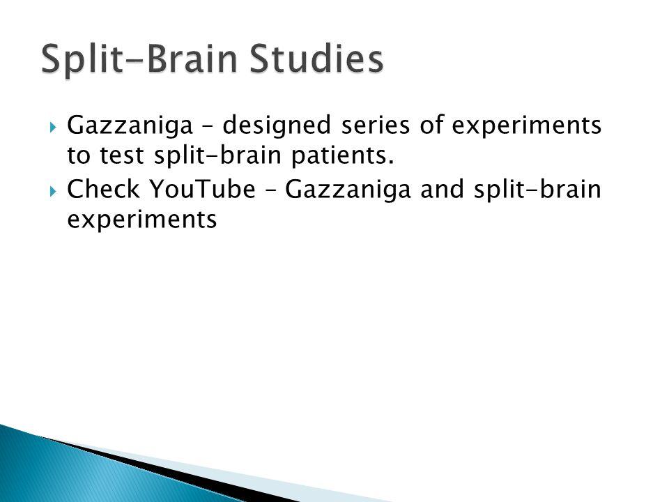 Split-Brain Studies Gazzaniga – designed series of experiments to test split-brain patients.