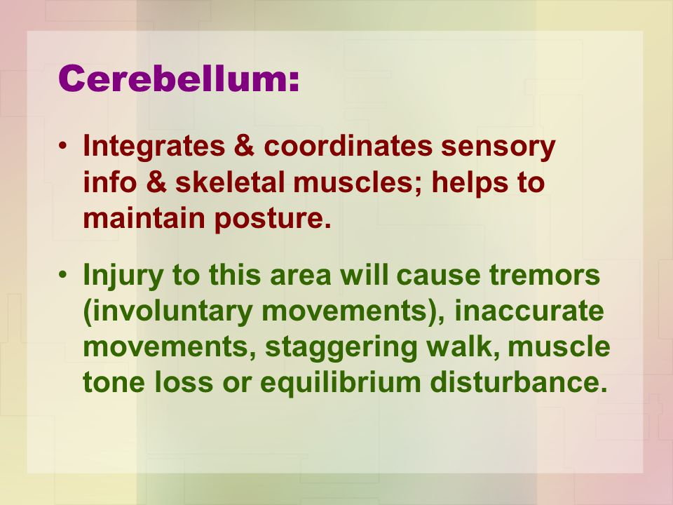 Cerebellum: Integrates & coordinates sensory info & skeletal muscles; helps to maintain posture.