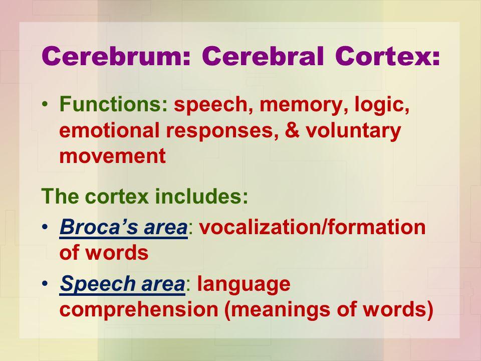 Cerebrum: Cerebral Cortex:
