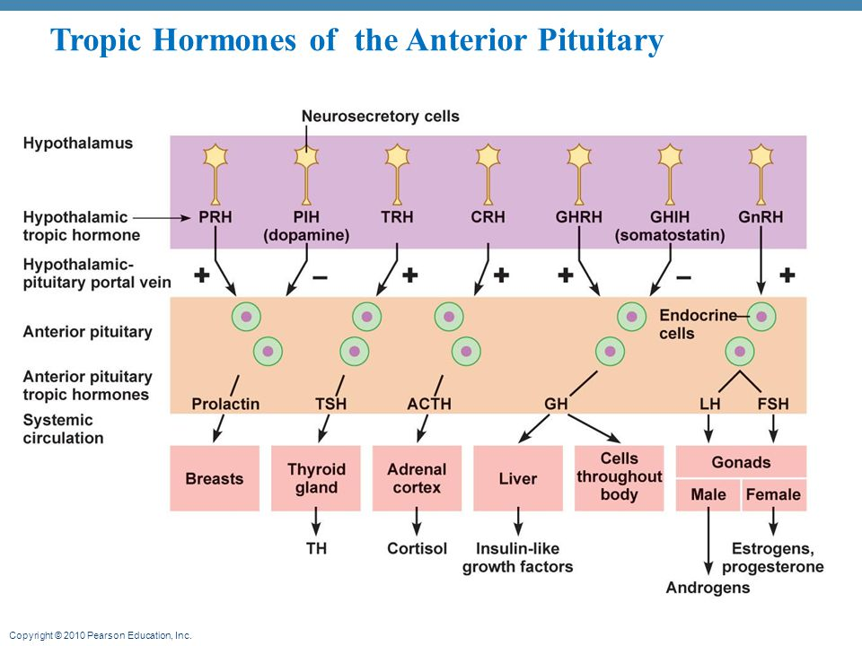 Tropic Hormones of the Anterior Pituitary