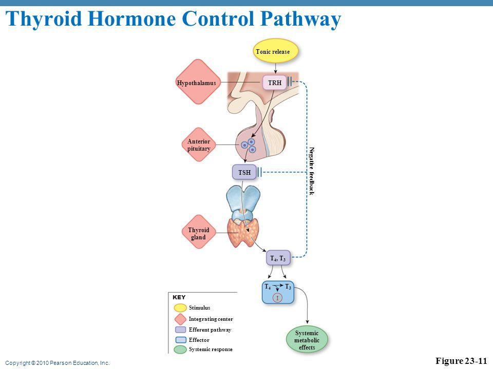Thyroid Hormone Control Pathway
