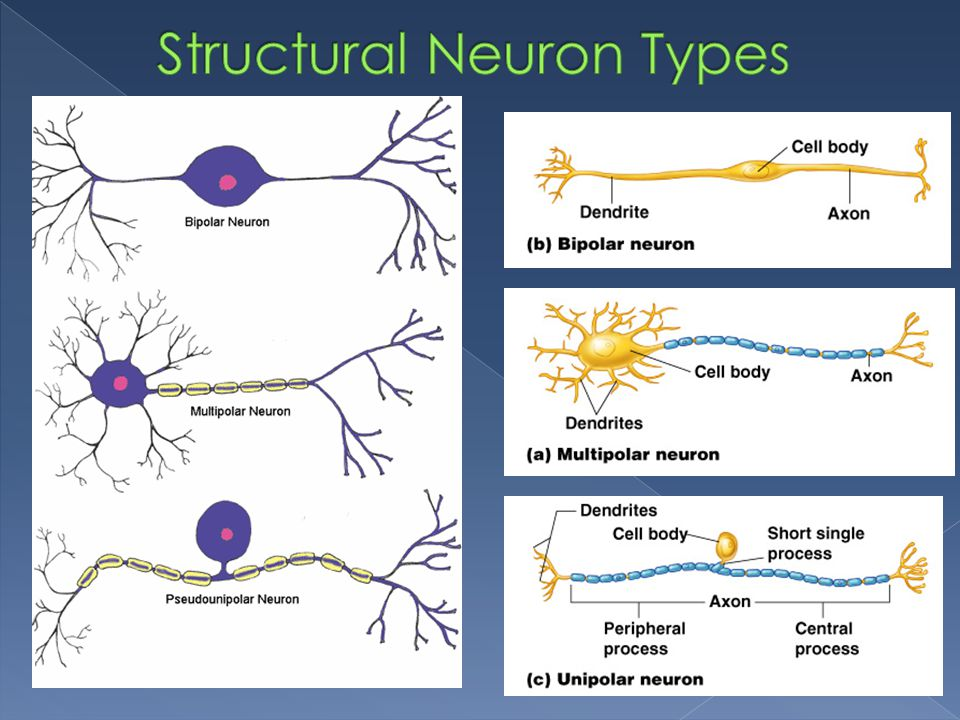 Structural Neuron Types