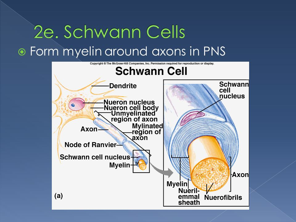 2e. Schwann Cells Form myelin around axons in PNS