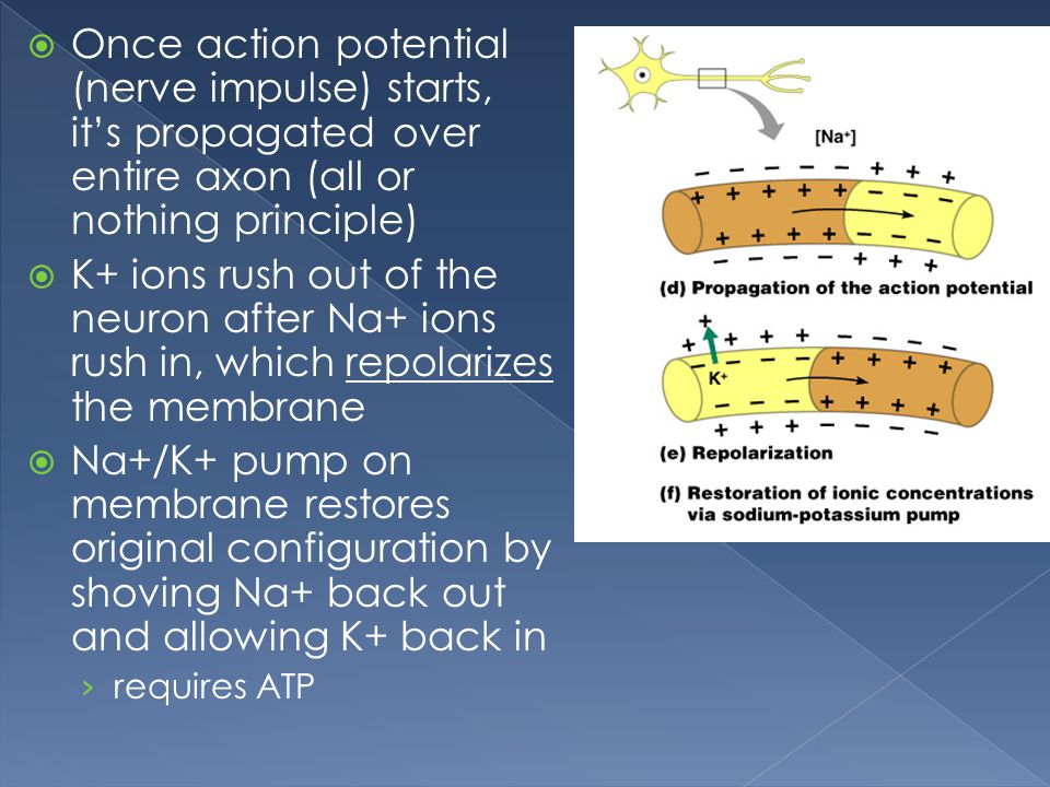 Once action potential (nerve impulse) starts, it's propagated over entire axon (all or nothing principle)