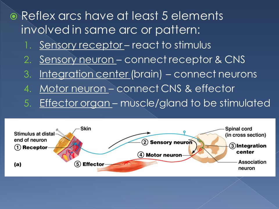 Reflex arcs have at least 5 elements involved in same arc or pattern: