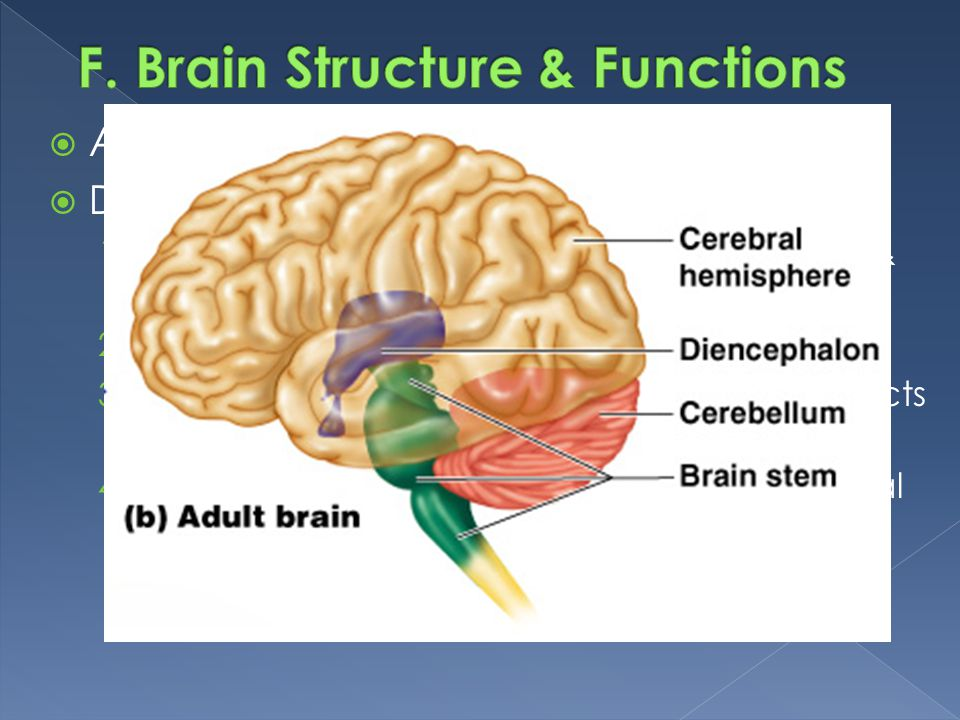 F. Brain Structure & Functions