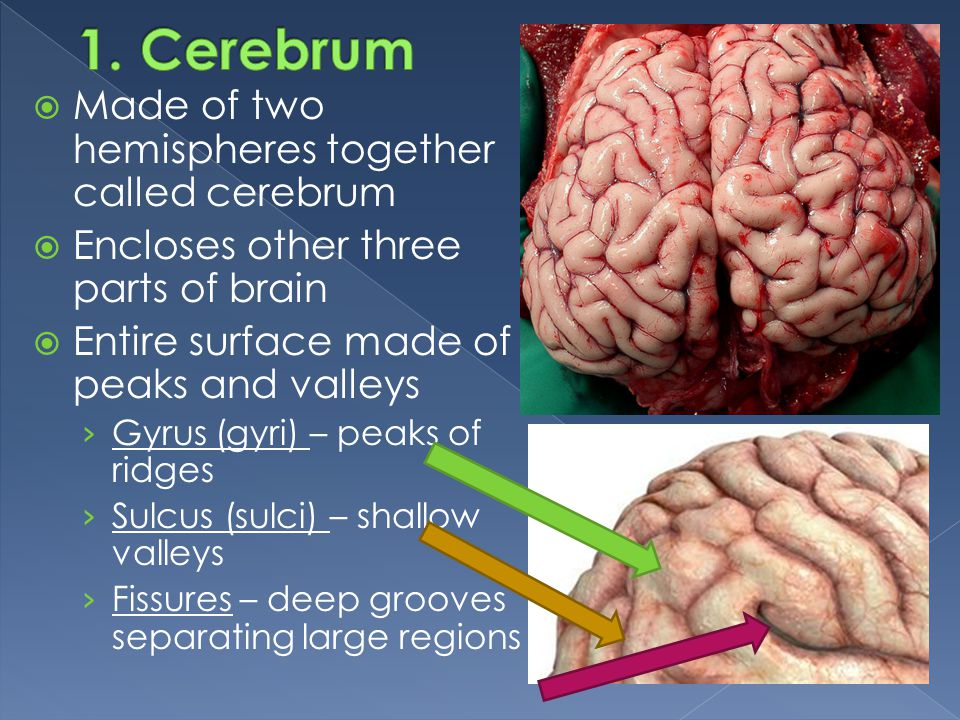 1. Cerebrum Made of two hemispheres together called cerebrum