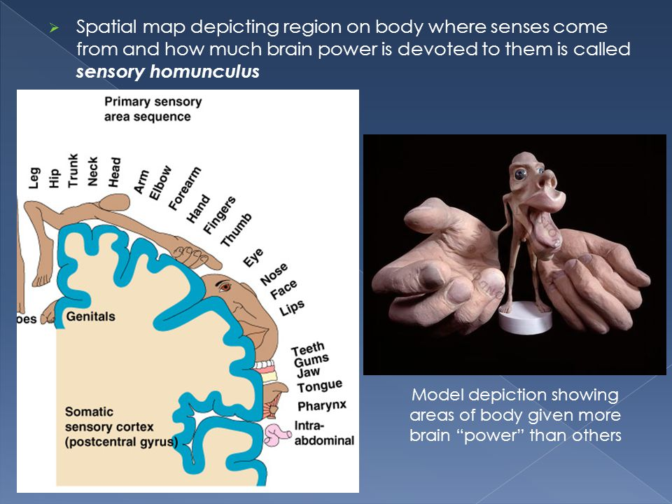 Spatial map depicting region on body where senses come from and how much brain power is devoted to them is called sensory homunculus