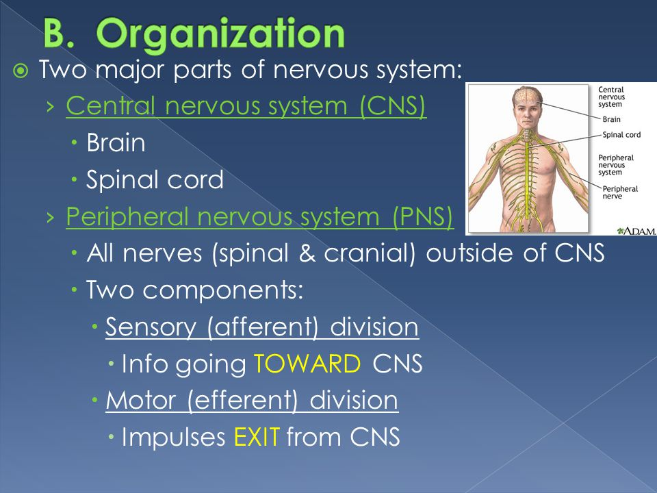 Organization Two major parts of nervous system:
