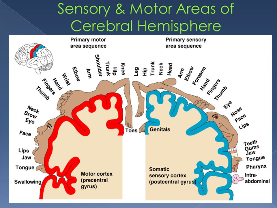 Sensory & Motor Areas of Cerebral Hemisphere