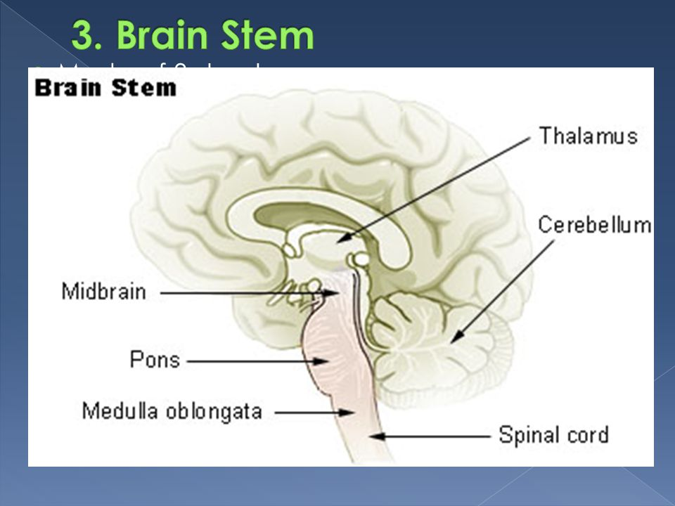 3. Brain Stem Made of 3 structures:
