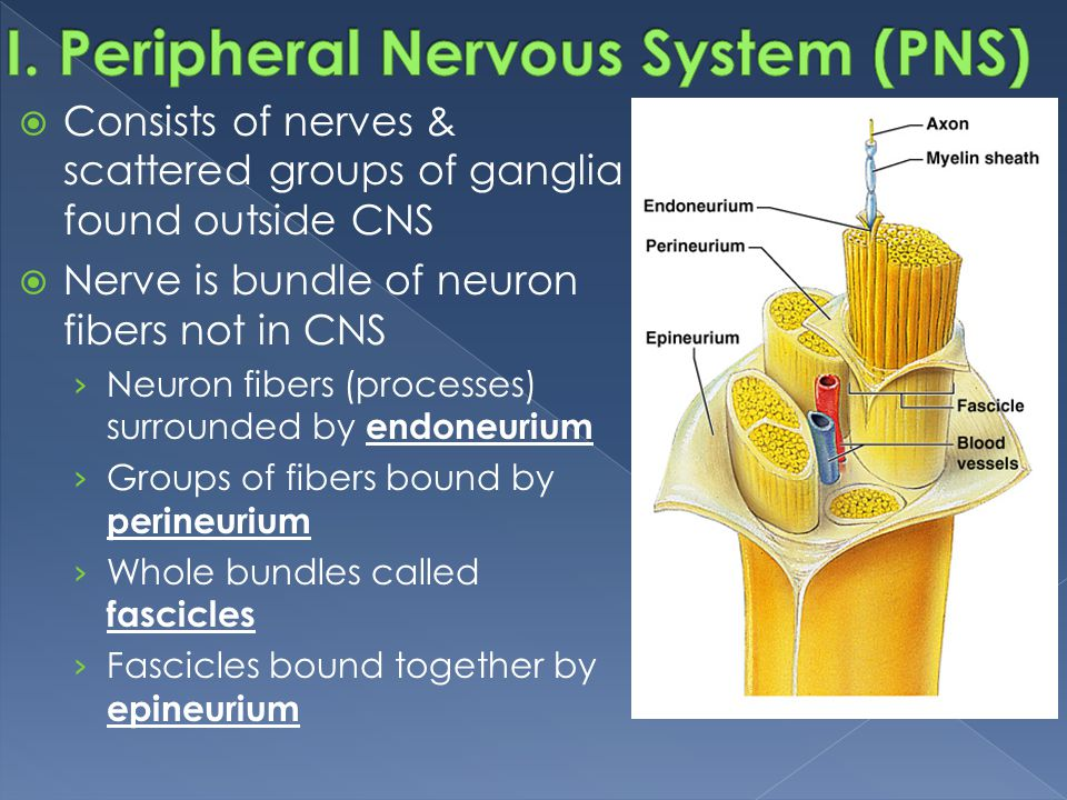 I. Peripheral Nervous System (PNS)