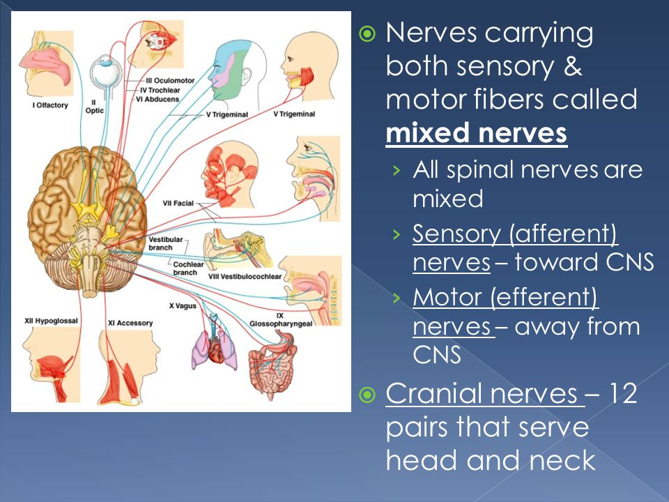 Nerves carrying both sensory & motor fibers called mixed nerves