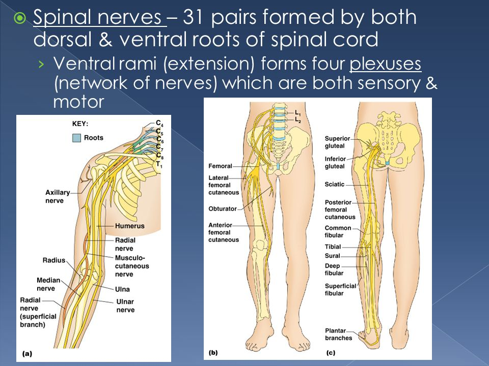 Spinal nerves – 31 pairs formed by both dorsal & ventral roots of spinal cord