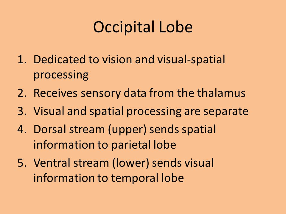 Occipital Lobe Dedicated to vision and visual-spatial processing