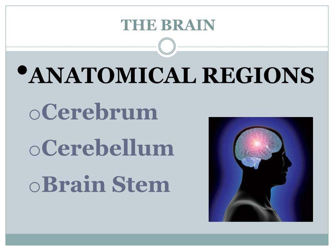 THE BRAIN ANATOMICAL REGIONS Cerebrum Cerebellum Brain Stem