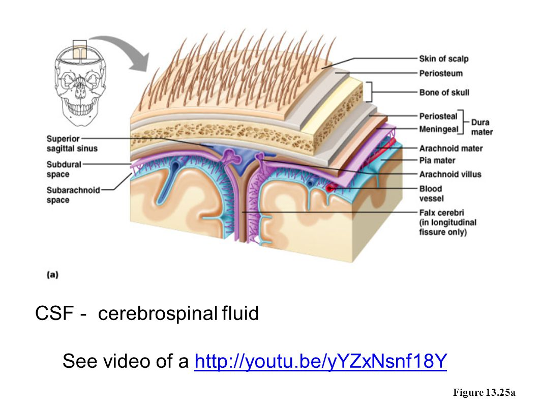 CSF - cerebrospinal fluid See video of a http://youtu.be/yYZxNsnf18Y