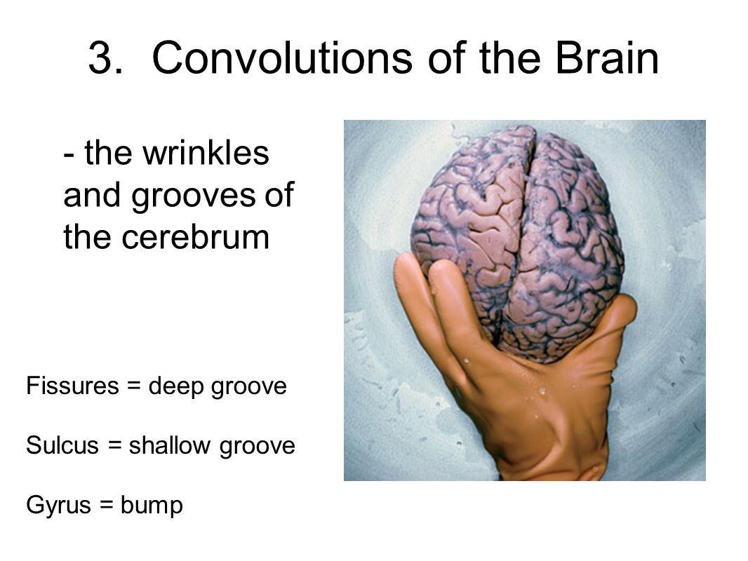 3. Convolutions of the Brain