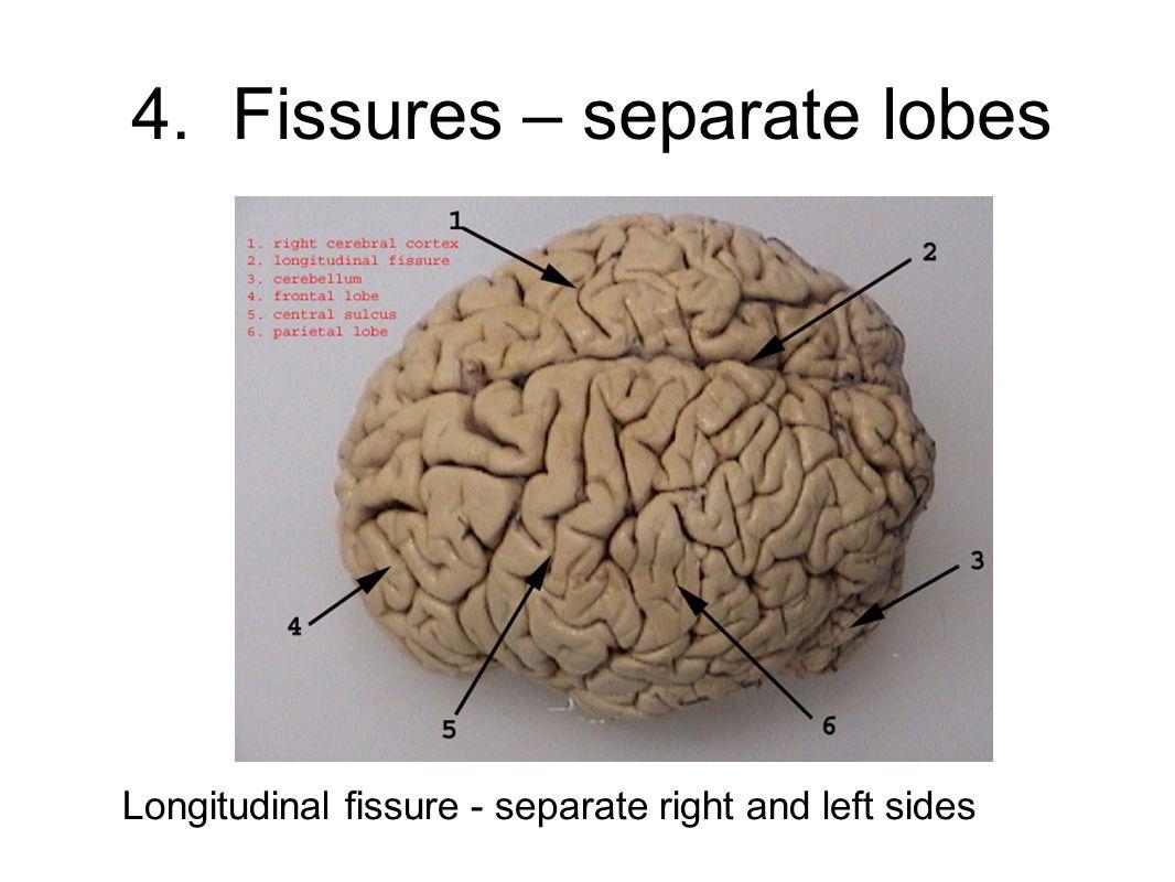 4. Fissures – separate lobes