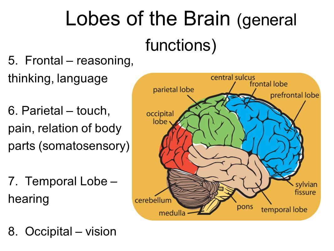 Lobes of the Brain (general functions)