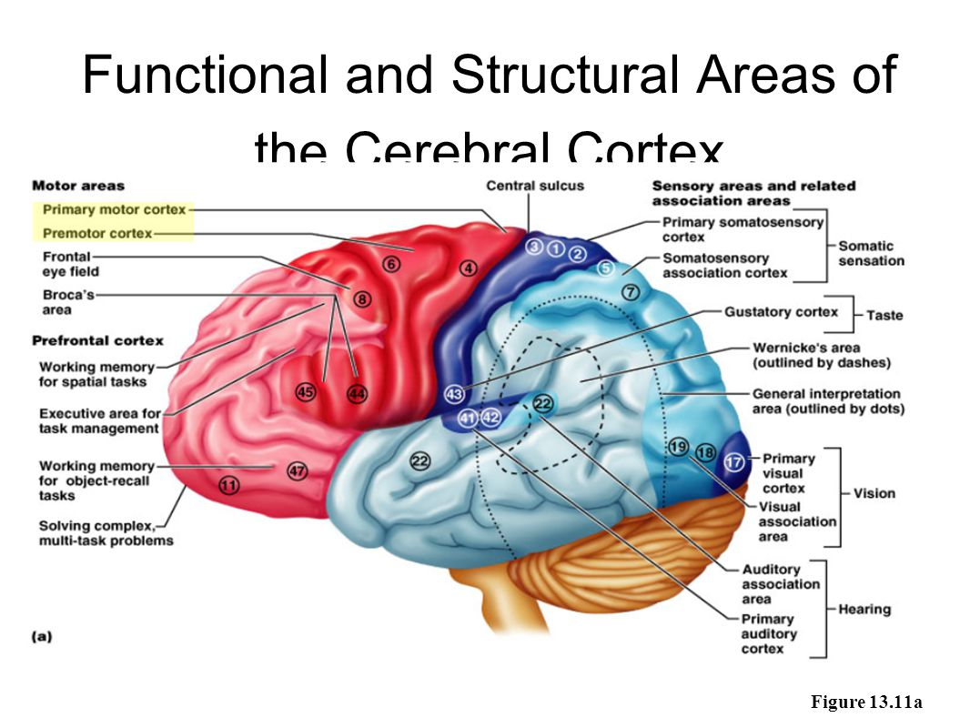 Functional and Structural Areas of the Cerebral Cortex