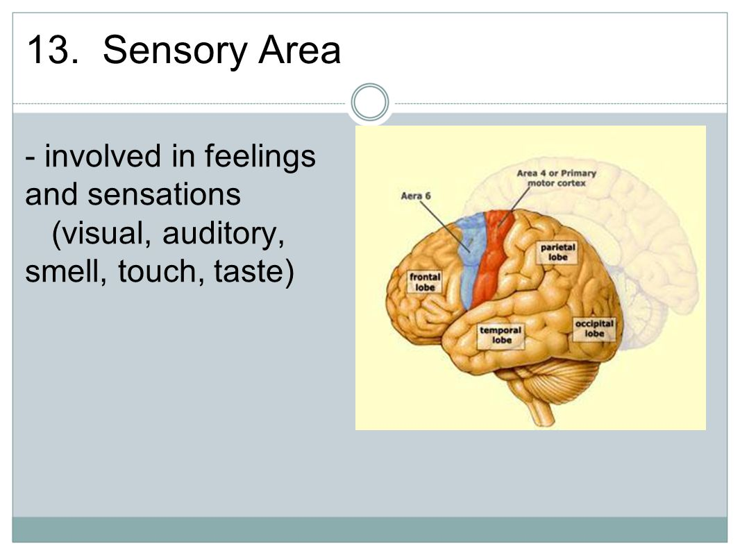 13. Sensory Area - involved in feelings and sensations