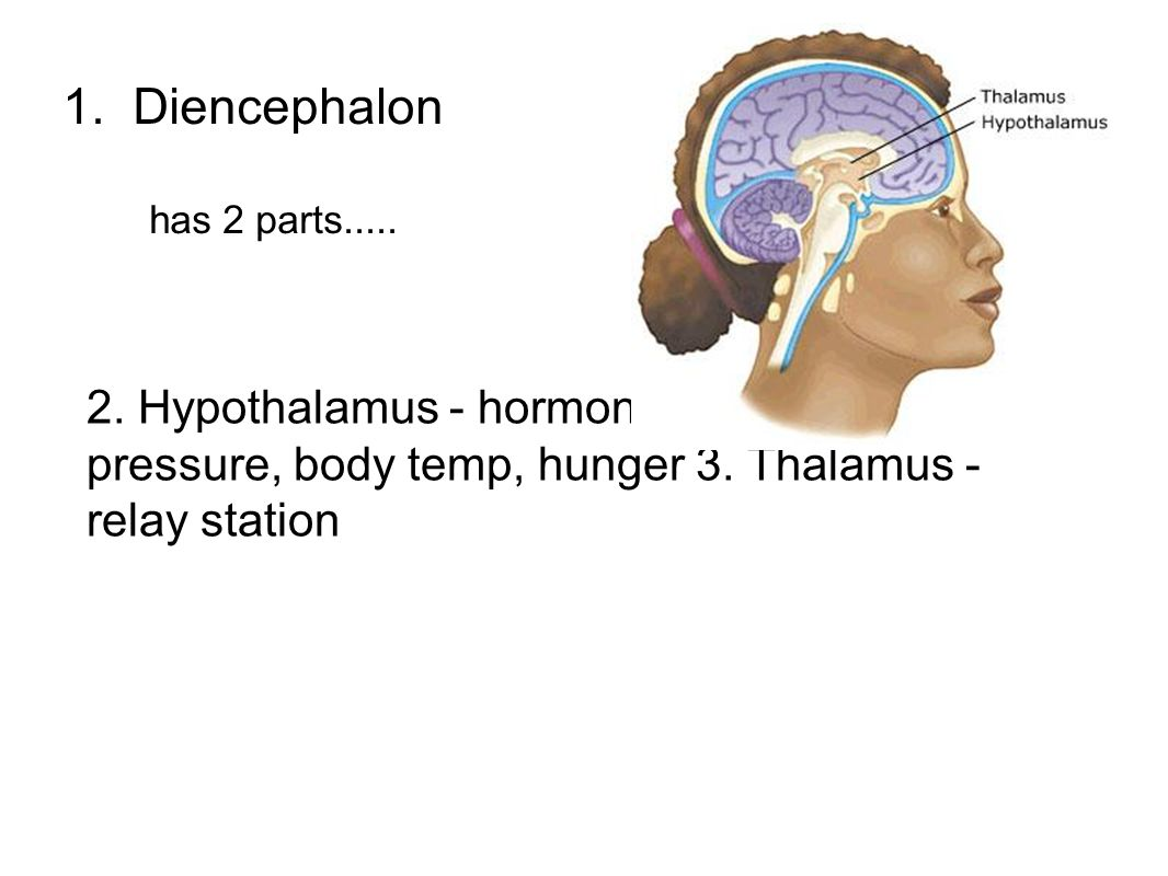 1. Diencephalon has 2 parts..... 2.