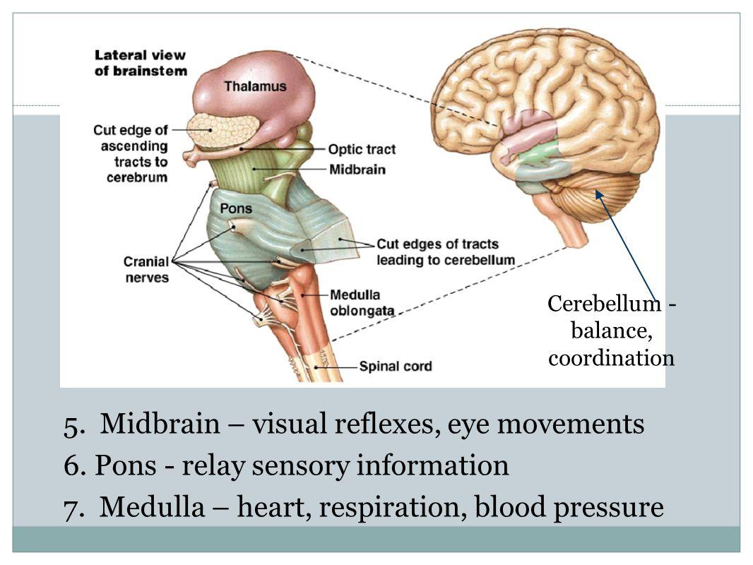 Cerebellum - balance, coordination