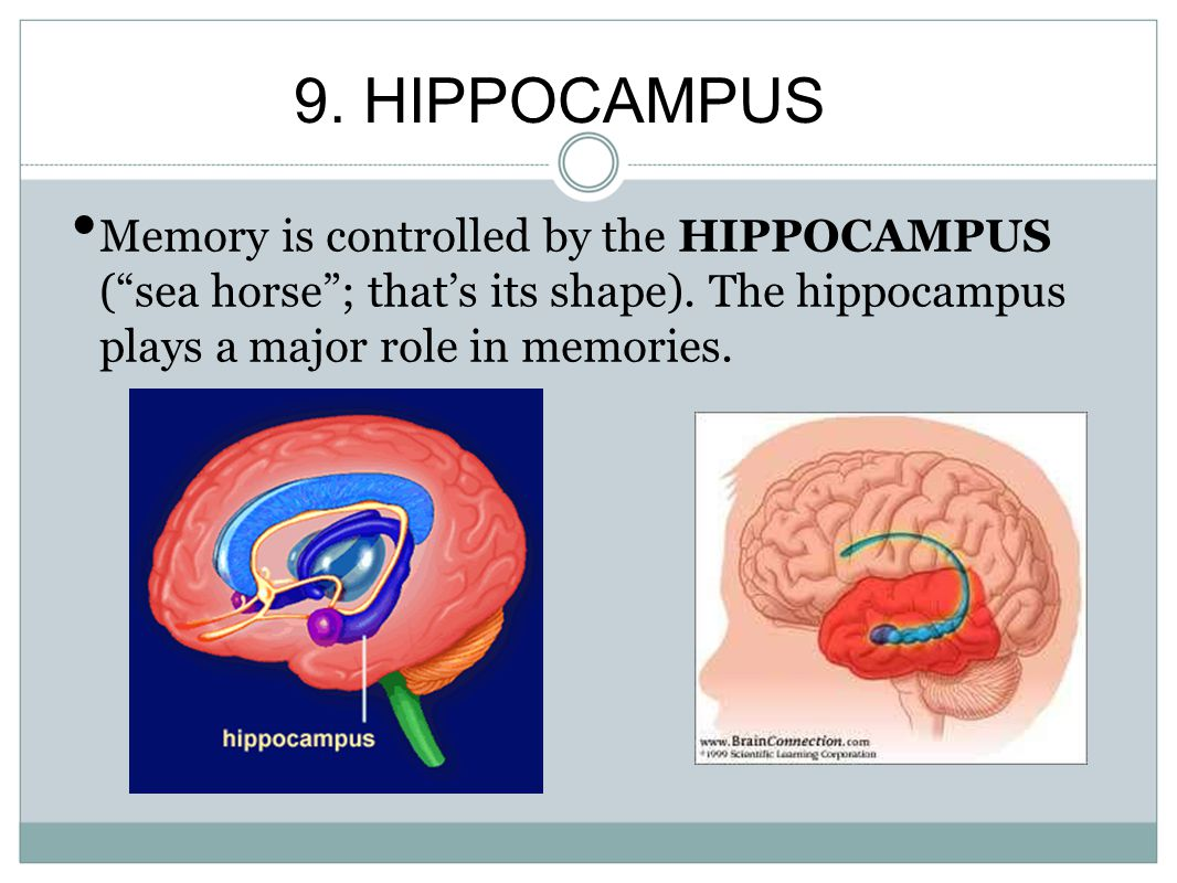 9. HIPPOCAMPUS Memory is controlled by the HIPPOCAMPUS ( sea horse ; that's its shape).