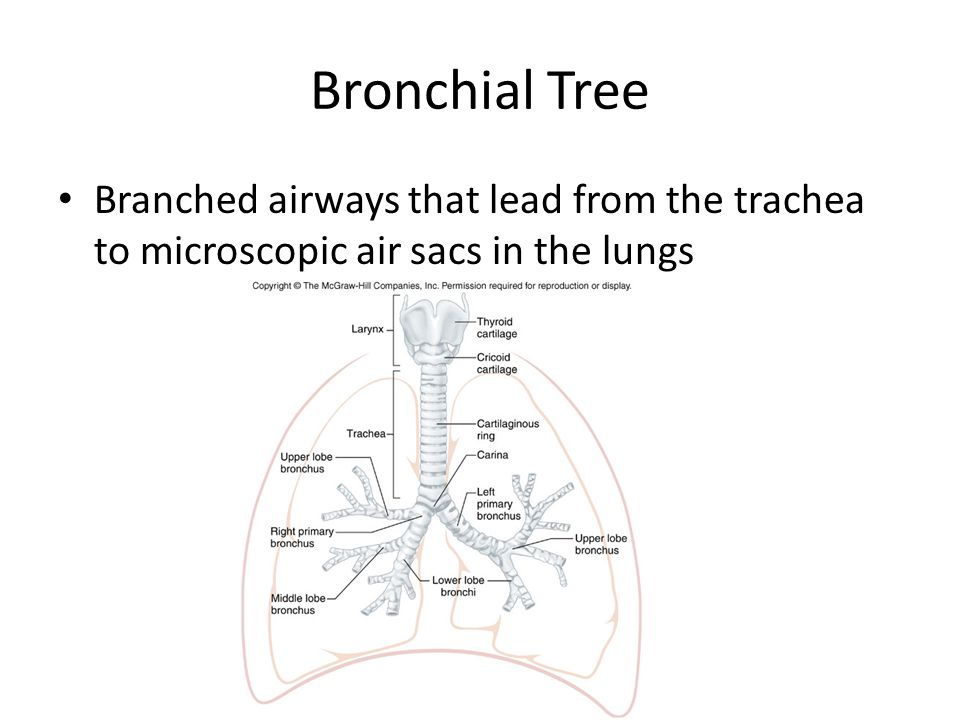 Bronchial Tree Branched airways that lead from the trachea to microscopic air sacs in the lungs