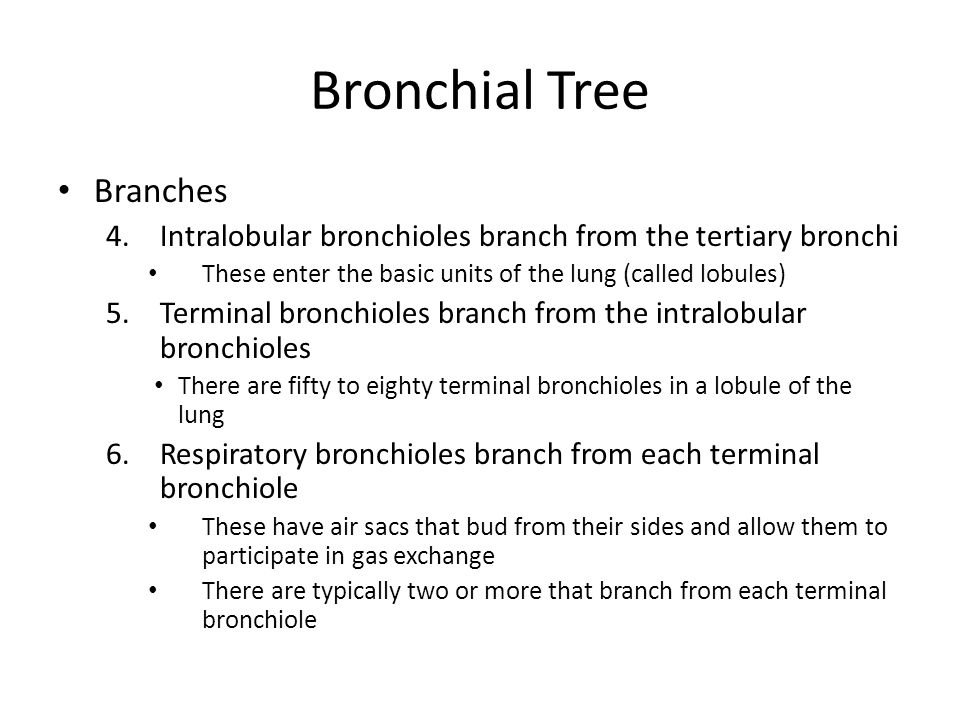 Bronchial Tree Branches