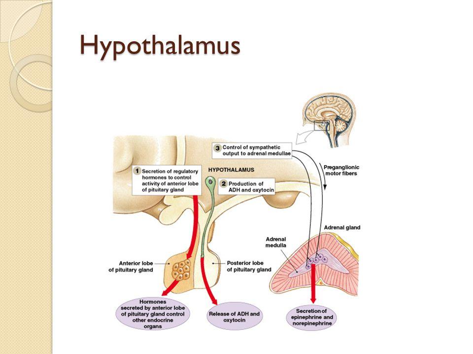 Hypothalamus Figure 18–5