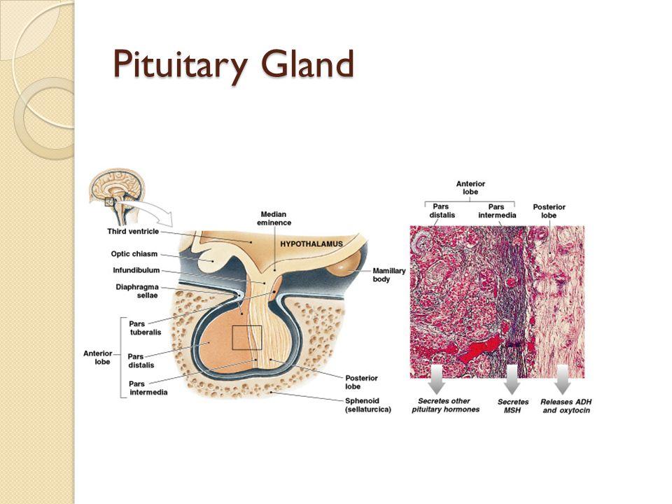 Pituitary Gland Figure 18–6