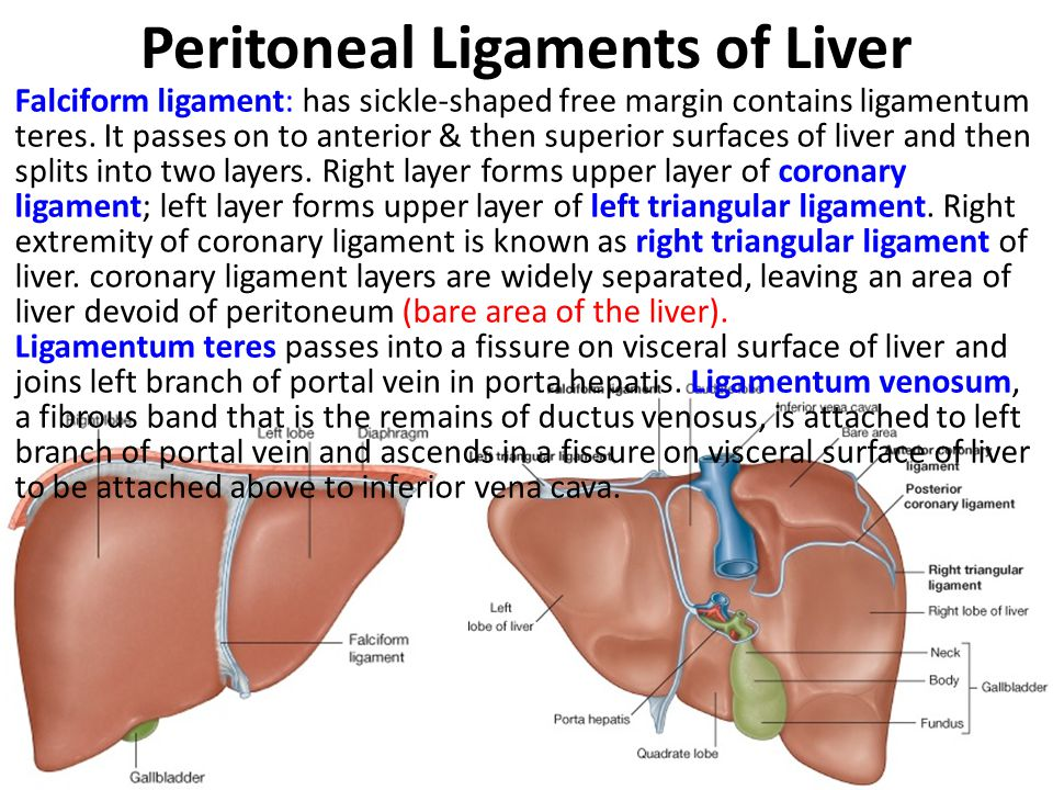 Peritoneal Ligaments of Liver