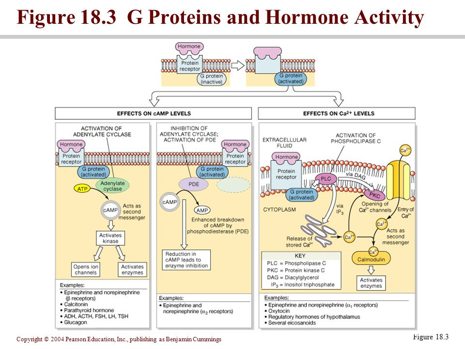 Figure 18.3 G Proteins and Hormone Activity