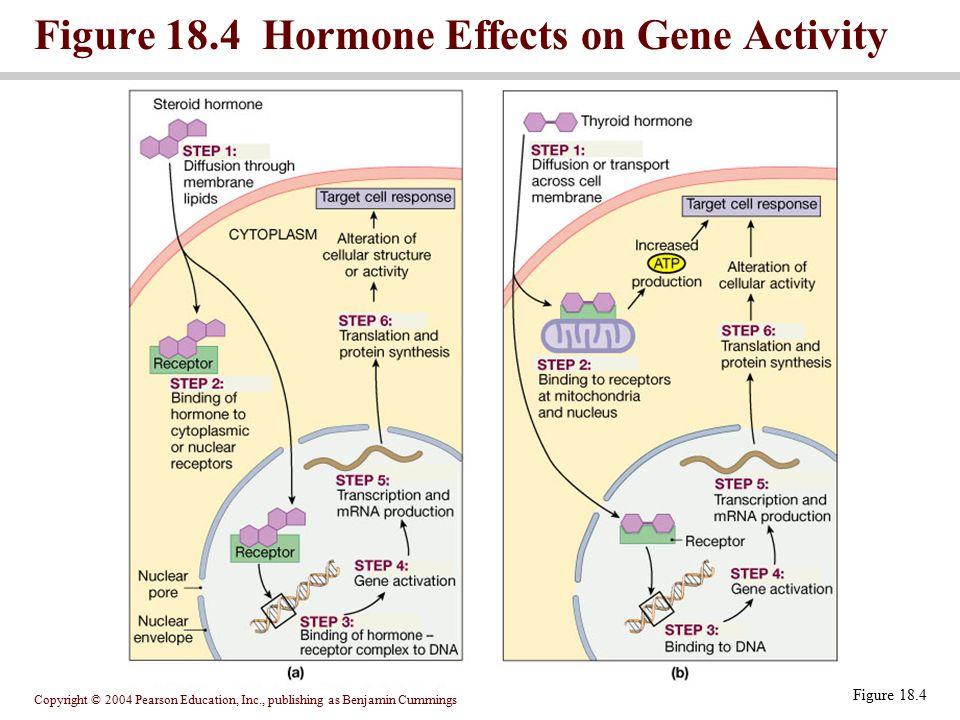 Figure 18.4 Hormone Effects on Gene Activity