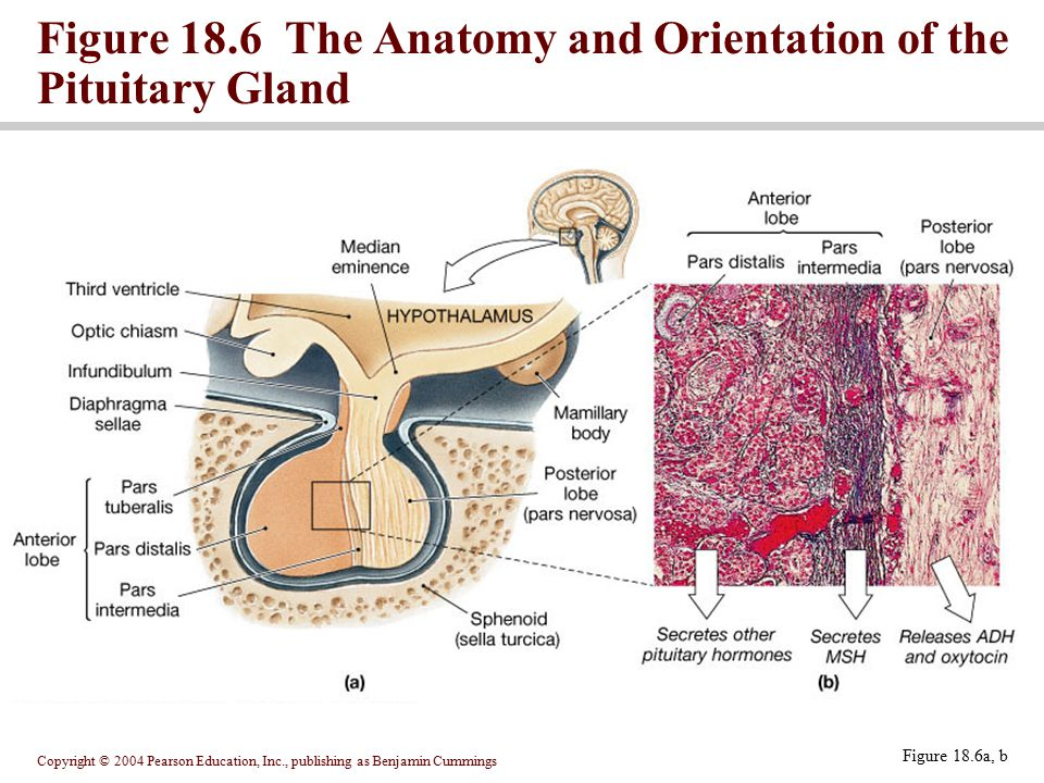 Figure 18.6 The Anatomy and Orientation of the Pituitary Gland