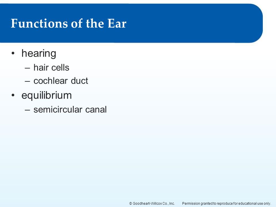 Functions of the Ear hearing equilibrium hair cells cochlear duct