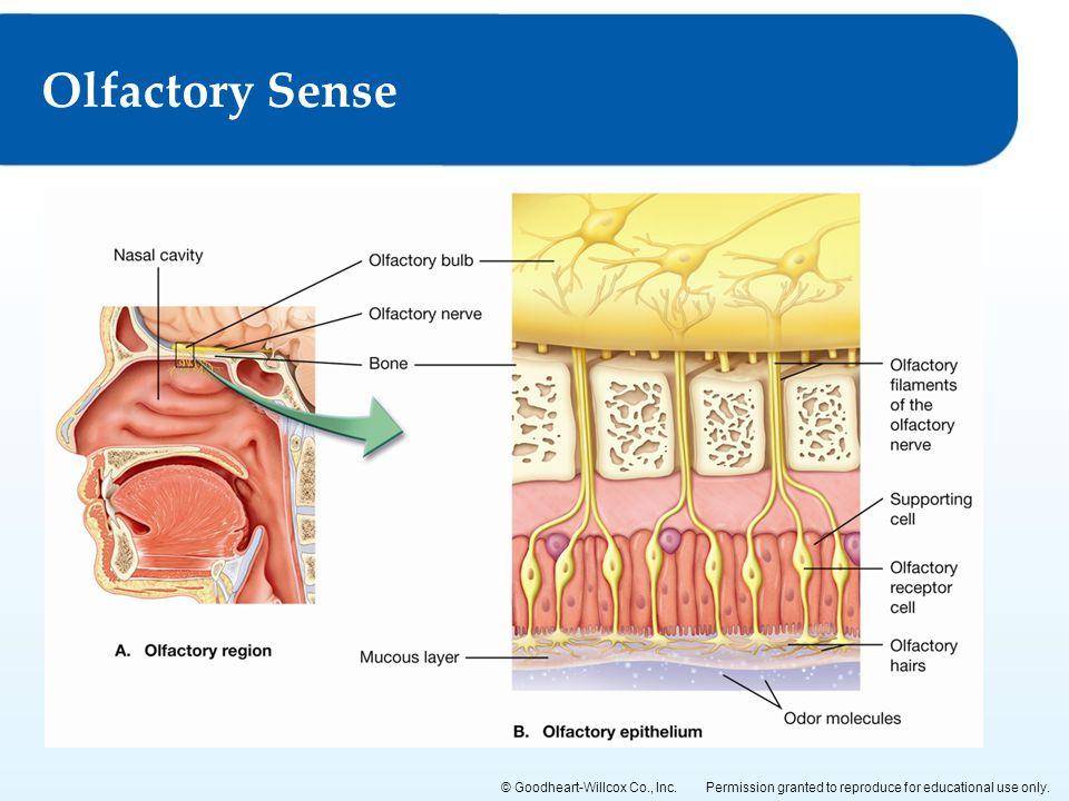 Olfactory Sense