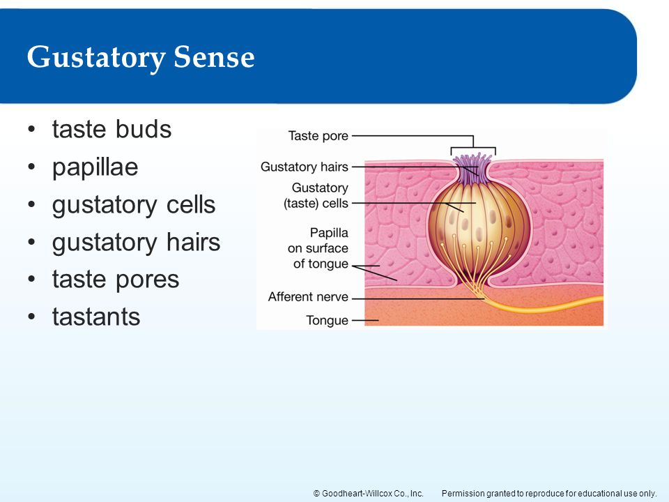 Gustatory Sense taste buds papillae gustatory cells gustatory hairs