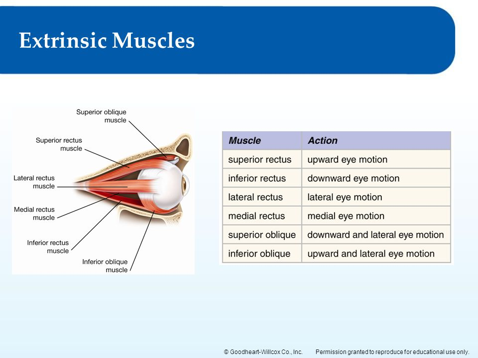 Extrinsic Muscles