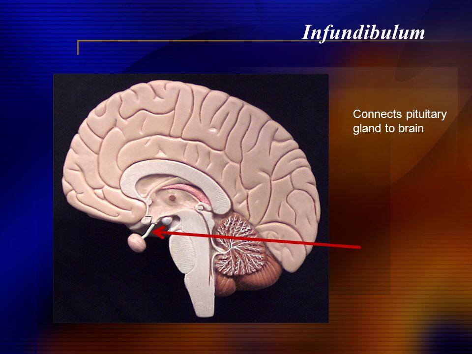 Infundibulum Connects pituitary gland to brain
