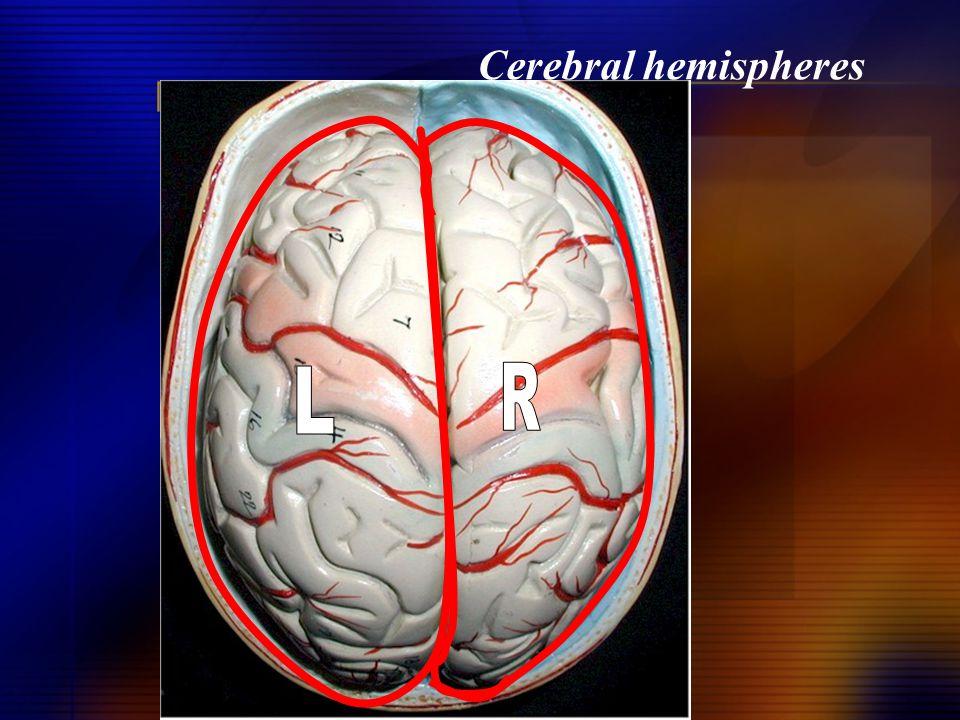 Cerebral hemispheres L R