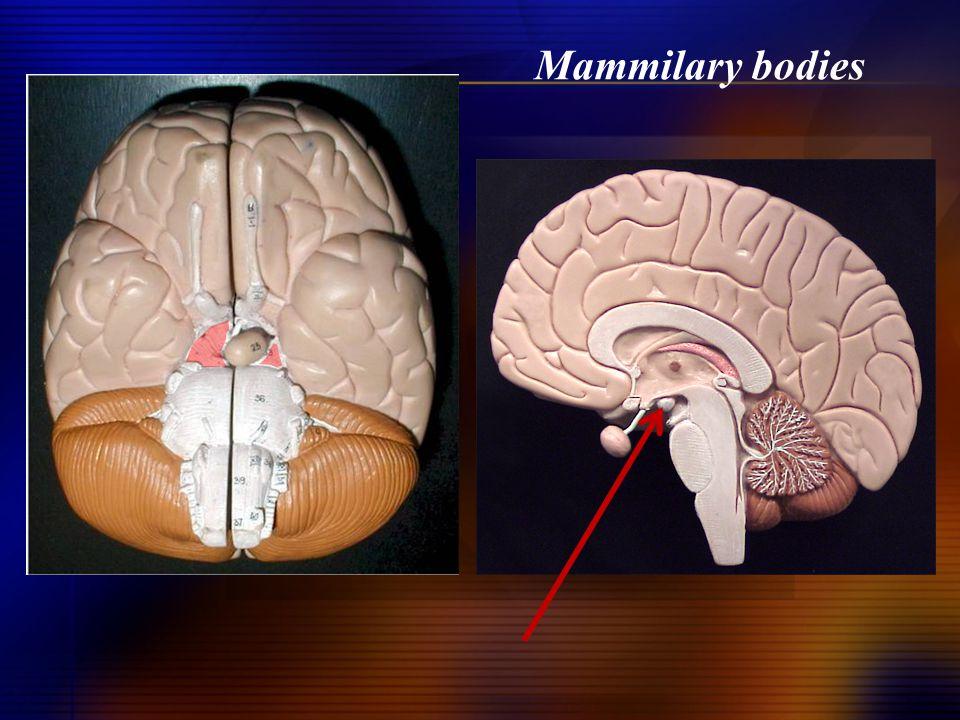 Mammilary bodies